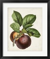 Framed Antique Fruit IX
