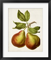 Framed Antique Fruit XI