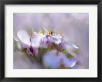Framed Mist of Lilac III