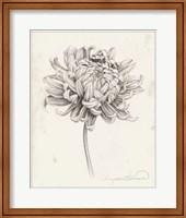 Framed Graphite Chrysanthemum Study I
