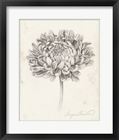 Framed Graphite Chrysanthemum Study II