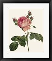 Framed Redoute's Rose I