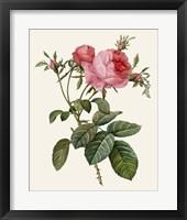 Framed Redoute's Rose II