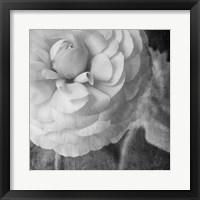 Framed Dark Ranunculus II