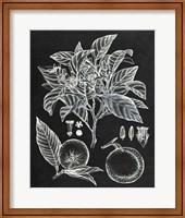 Framed Citrus Botanical Study II
