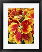 Framed Yellow And Red Parrot Tulips