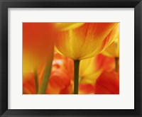 Framed Macro Of Colorful Tulip 4, Netherlands