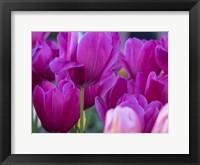 Framed Tulip Close-Ups 1, Lisse, Netherlands