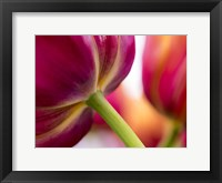 Framed Tulip Close-Ups 2, Lisse, Netherlands