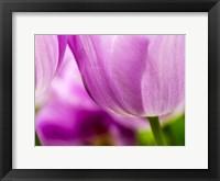 Framed Tulip Close-Ups 3, Lisse, Netherlands