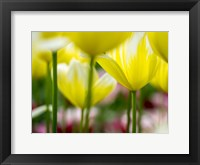 Framed Tulip Close-Ups 4, Lisse, Netherlands