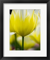 Framed Tulip Close-Ups 5, Lisse, Netherlands
