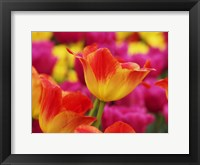 Framed Colorful Tulip 2, Netherlands