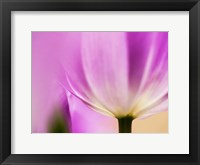 Framed Tulip Close-Up With Selective Focus 1, Netherlands