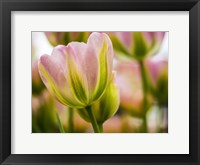 Framed Tulip Close-Up With Selective Focus 2, Netherlands