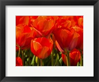 Framed Red Tulips In Mass, Nord Holland, Netherlands
