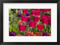 Framed Bright Spring Tulips 1