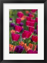 Framed Bright Spring Tulips 2