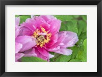 Framed Pink Mountain Peony