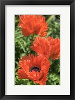 Framed Orange Oriental Poppies