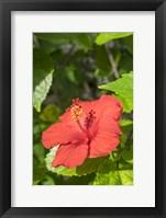 Framed Hibiscus, New Smyrna Beach, Florida