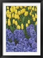 Framed Hyacinth And Yellow Tulips In Garden, Las Vegas