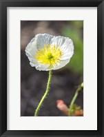 Framed White Poppy Garden