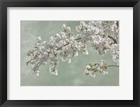 Framed Cherry Tree Blossoms In Spring, Seabeck, Washington State