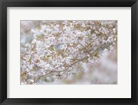 Framed Cherry Tree Blossoms, Seabeck, Washington State
