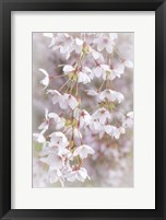 Framed Cherry Tree Blossoms Close-Up, Seabeck, Washington State