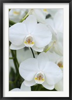 Framed White Orchid Blooms