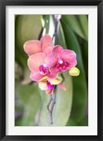 Framed Orchid, USA