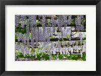 Framed Spring Blossoms, Capri, Campania, Italy