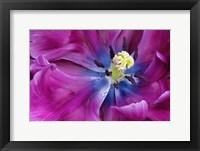 Framed Tulip Closeup, Keukenhof Gardens, Lisse, Netherlands, Holland