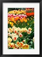 Framed Keukenhof Gardens, Lisse, Netherlands