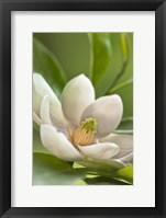 Framed Magnolia Tree Flower Blossom