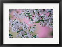 Framed Weeping Cherry Tree Blossoms, Louisville, Kentucky