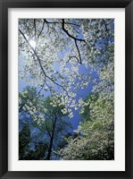 Framed White Flowering Dogwood Trees in Bloom, Kentucky
