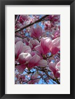 Framed Pink Magnolia Blossoms and Cross on Church Steeple, Reading, Massachusetts