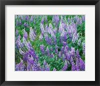 Framed Lupine Meadow and Oregon white oaks, Columbia River Gorge National Scenic Area, Oregon