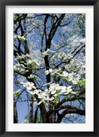 Framed USA, Tennessee, Nashville Flowering dogwood tree at The Hermitage