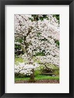 Framed Cherry Trees Blossoming in the Spring, Washington Park Arboretum, Seattle, Washington