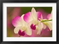 Framed Orchids, Selby Gardens, Sarasota, Florida