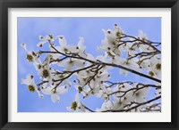 Framed Blooming Dogwood Tree, Owens Valley California