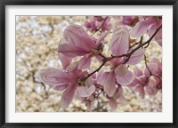 Framed Yulan Magnolia Blossoms, Louisville, Kentucky