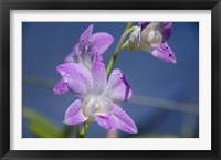 Framed Orchids With Water Droplets, Darwin, Australia