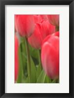 Framed Tulips In A Garden 1, Victoria, Canada