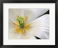 Framed Close-Up White Tulip