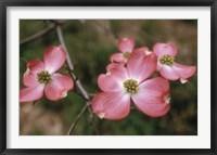 Framed Pink Dogwood Blooms