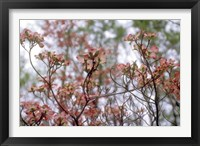 Framed Pink Dogwood